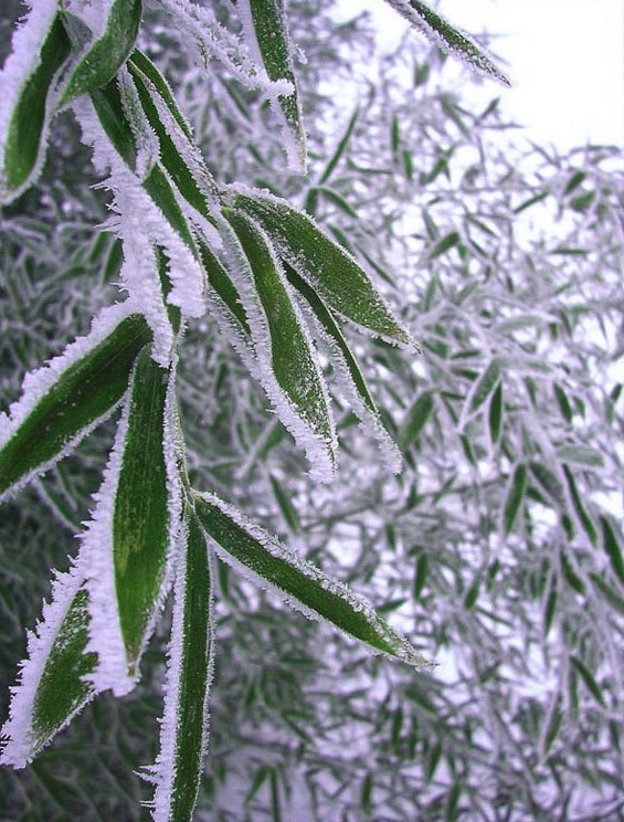 Aesthetics of Change: Bamboo Leaves In Snow